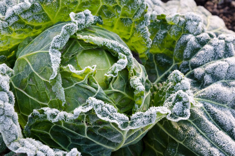 How To Freeze Cabbage The Best Way