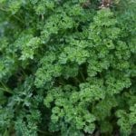 Great Substitutes for Parsley You May Have Never Thought Of